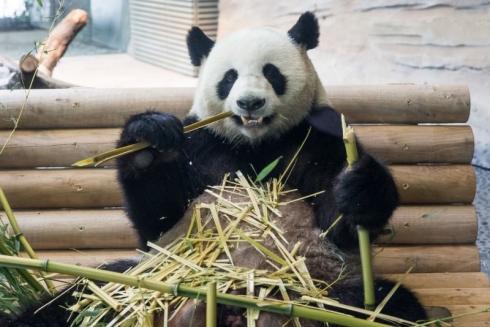 Jiao Qing Eröffnung Panda Garden © Zoo Berlin