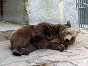 Die Bären – große wie kleine – im Tierpark Bischofswerda sollen sich noch viele Jahre lang wohlfühlen