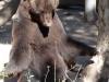 090518 Bär Atze, Buenos  Aires Zoo © Zoo Buenos Aires