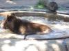 061024 Zoo Buenos Aires  mit Bär im Wasser  © Club Berlin Buenos Aires