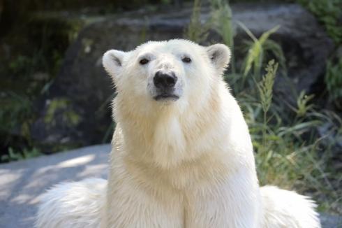Eisbär Tonja © Tierpark Berlin