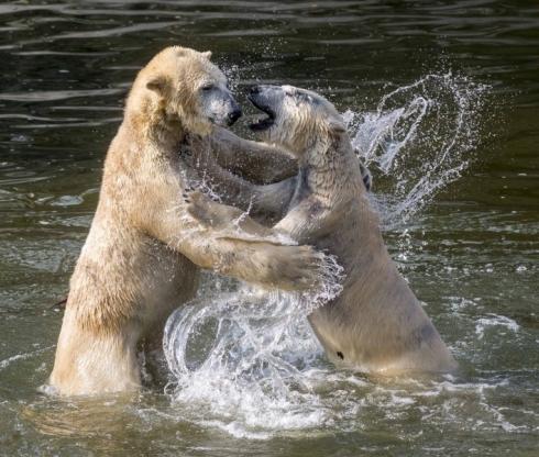 Eisbären Wolodja und Tonja © Tierpark Berlin 2016