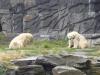 Eisbären im Berliner Tierpark © Gisela Stenwald