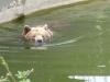 Braunbären im Berliner Zoo 2013 - Foto © Gisela Stenwald